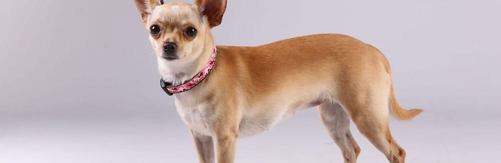 I tre tipi di collare per cani