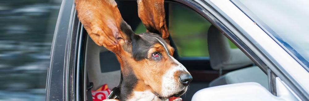 I 3 alert delle otiti nel cane