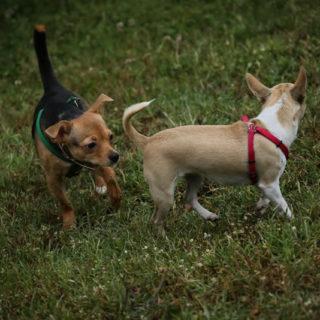 Chihuapiadi-2016-Le-Olimpiadi-del-cane-Chihuahua-0-5