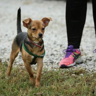 Chihuapiadi-2016-Le-Olimpiadi-del-cane-Chihuahua-0-6