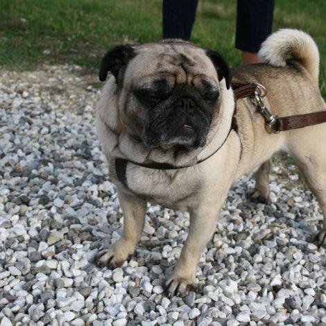 Ugopiadi-2007-I-giochi-del-cane-carlino-004