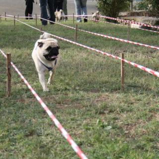 Ugopiadi-2007-I-giochi-del-cane-carlino-009
