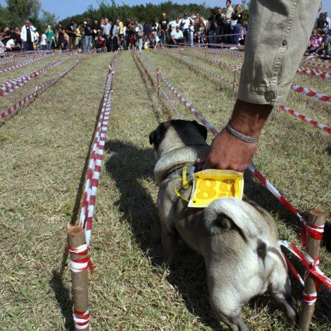 Ugopiadi-2008-I-giochi-del-cane-carlino-006