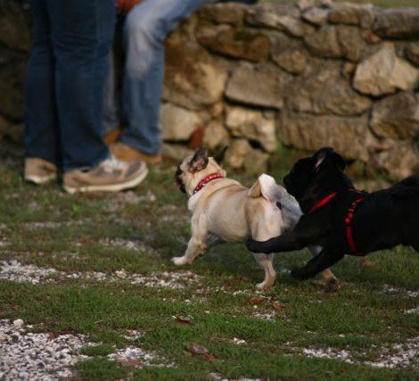 Ugopiadi-2009-I-giochi-del-cane-carlino-012