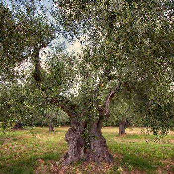 collesalvetti_olio_toscano_ugopiadi